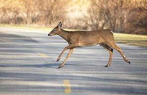 deer-crossing-road